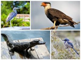 Collage of Florida wildlife